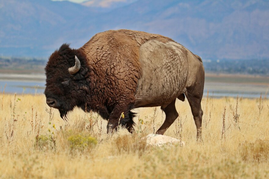 A bison browses through grass on Antelope Island.