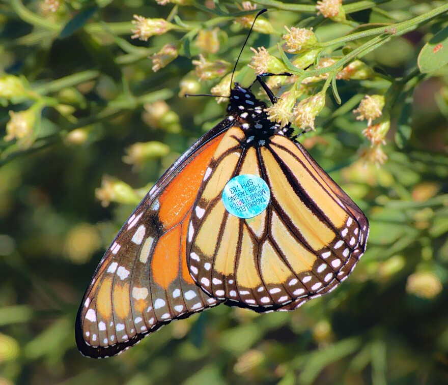 monarch_butterfly_with_tracking_tag_florida_james_leon_young_wikimedia.jpg