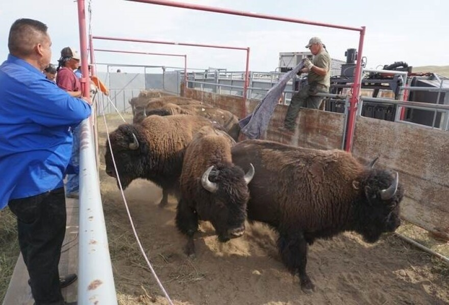 Robbie Magnan (right) coaxes the buffalo into place.