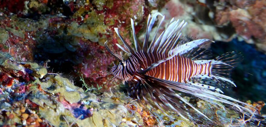 lionfish-factsheet_0.jpg