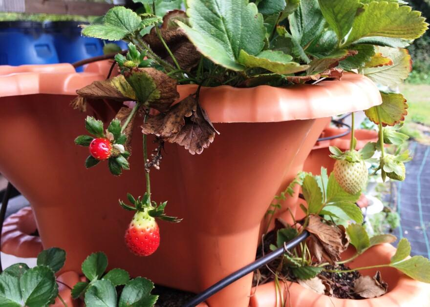 garden_strawberry.jpg