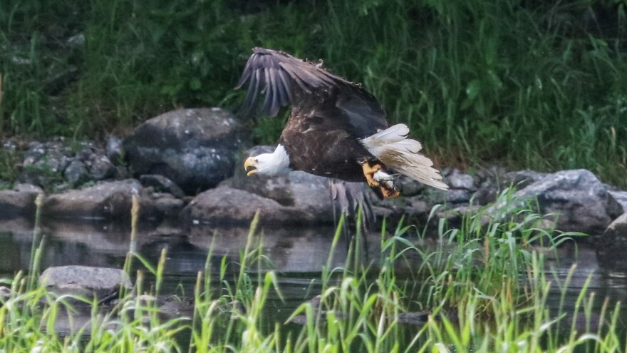 A recent count found nearly 200 bald eagles along the Sebasticook. This one has caught an alewife.