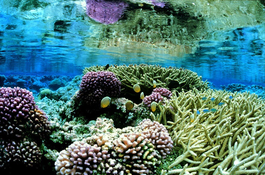 This photo released by U.S. Fish and Wildlife Service shows pink corals on the Palmyra Atoll in the Pacific. Parts of three remote and uninhabited Pacific island chains were set aside by President George W. Bush as national monuments to protect them from oil and gas extraction and commercial fishing.