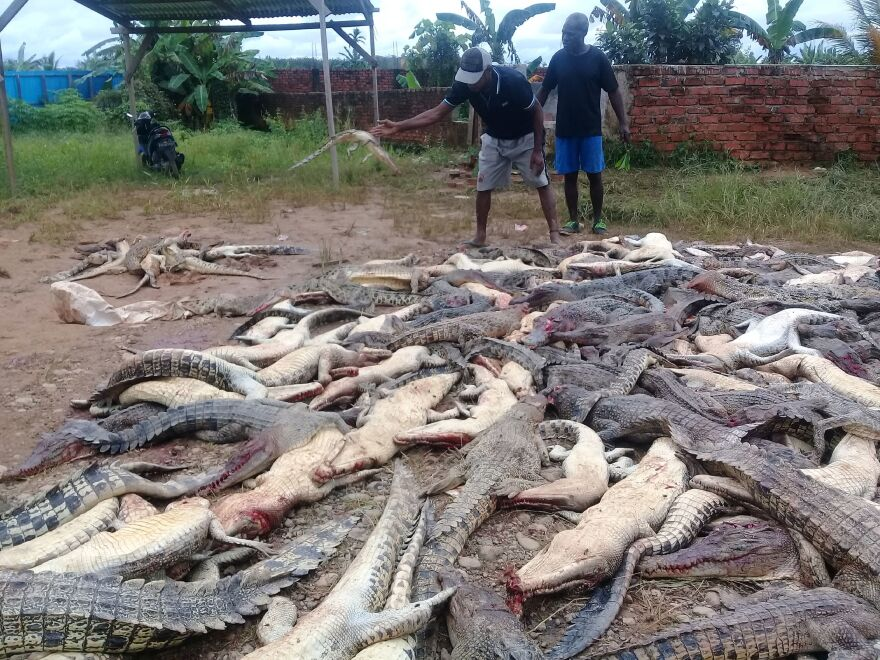 Two men stand among dead crocodiles slaughtered by a mob in Sorong in Indonesia's Papua province on Saturday.