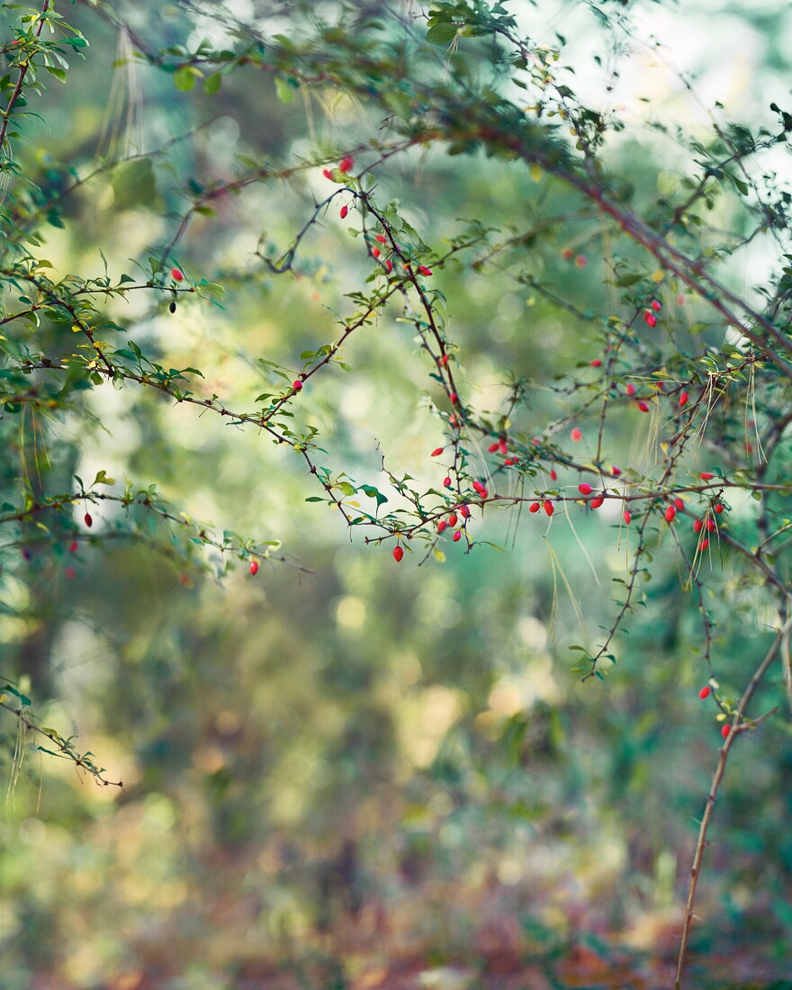 <em>Red Berries</em>, 2015