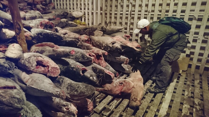 These dead sharks were discovered aboard a Chinese-flagged vessel found off Ecuador earlier this month with some 300 tons of marine species, several of which are in danger of extinction.