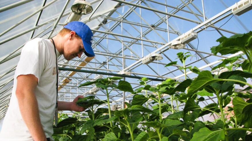 Brent Hulke, USDA's sunflower breeder, inspects his flowers in Fargo, ND.