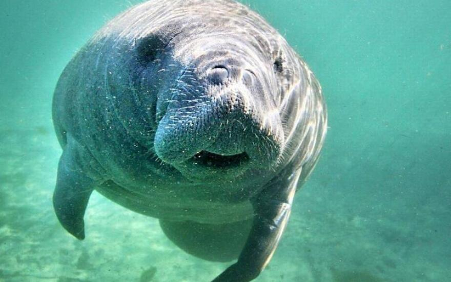 Wildlife experts worry poor water conditions are making manatees more vulnerable to boat strikes.
