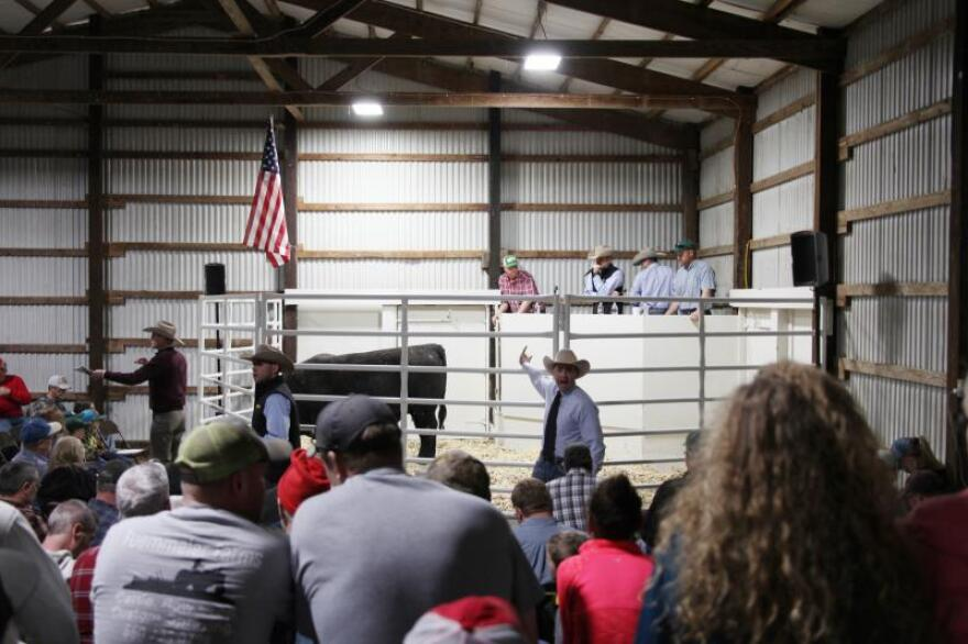 At the auction in Salisbury, Missouri, an auctioneer lists the predictive genetic statistics for each bull in the ring as ranchers decide which is best for their herd.