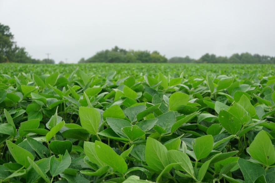 101320_JA_soybeans.JPG