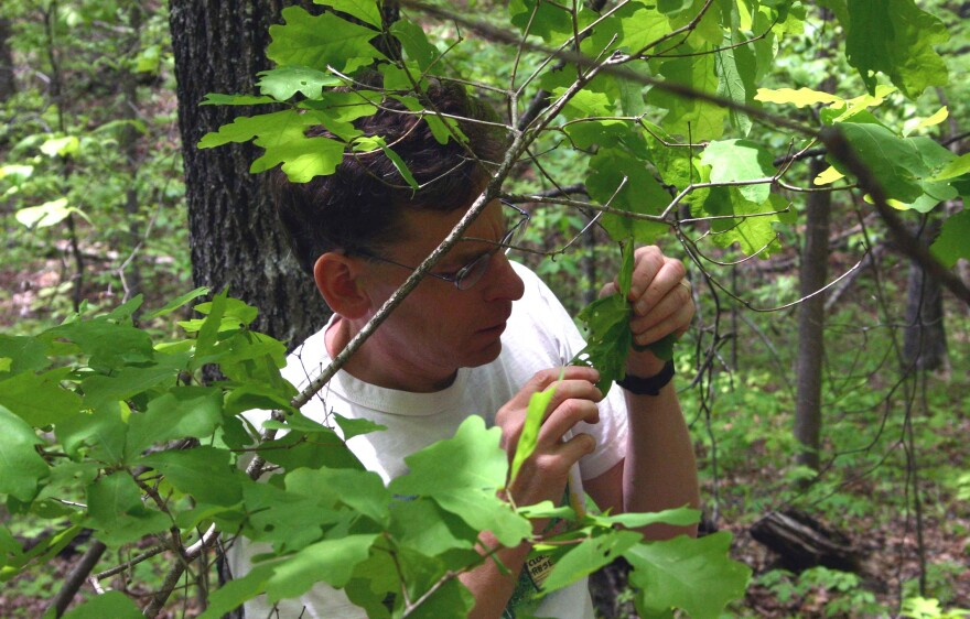 Robert Marquis, a professor emeritus of biology at University of Missouri-St. Louis, looks for caterpillars on oak trees.