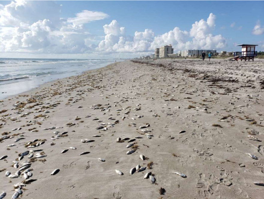 Red Tide is believed to be behind this fish kill in Cocoa Beach.