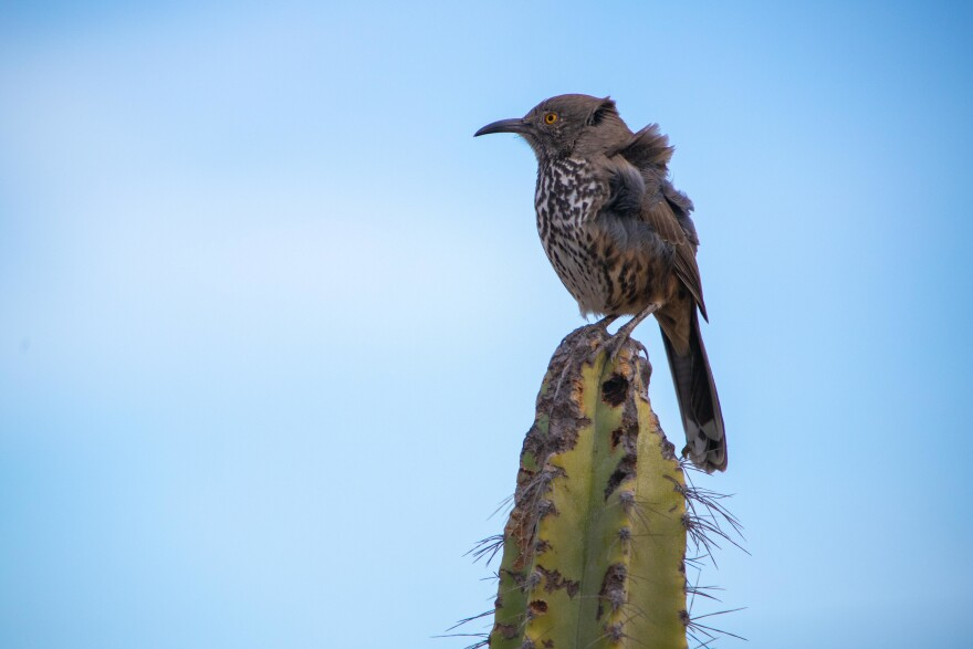A gray thrasher perches atop a cactus outside our house. This is one of the few endemic bird species to Baja California and the only endemic that we regularly see on our land.