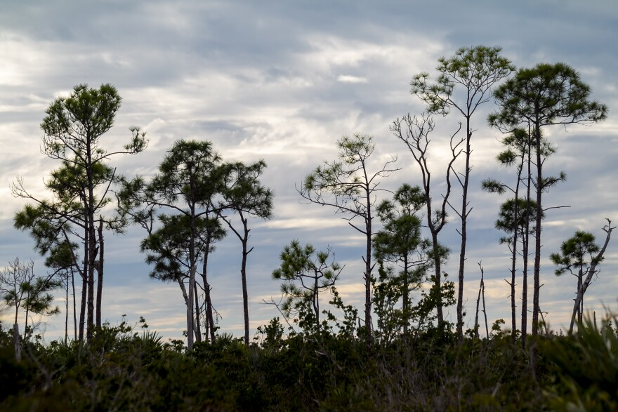 Sea rise is pushing inland and amplifying the threats from hurricanes, wiping out one of the rarest forests on the planet in the Florida Keys.