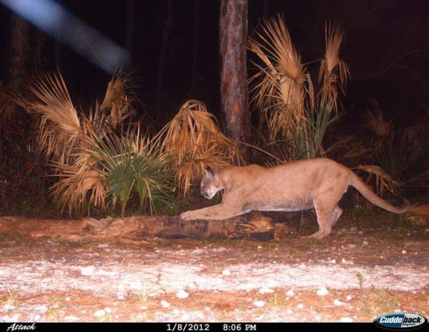 An endangered Florida panther scratching at a tree in the Florida Panther National Wildlife Refuge.