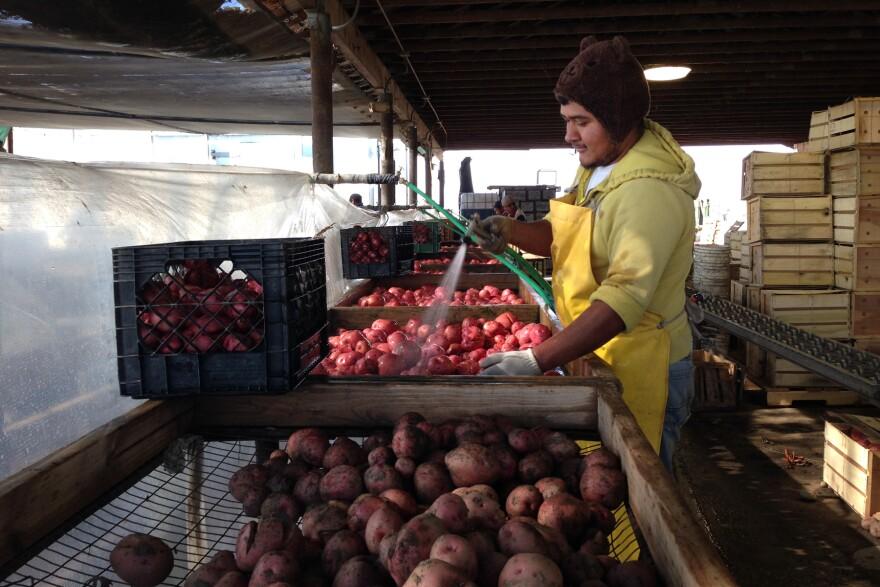 Nahun Villagomez Sanchez washes freshly dug Red LaSoda potatoes at T&D Willey Farms near Madera, Calif.