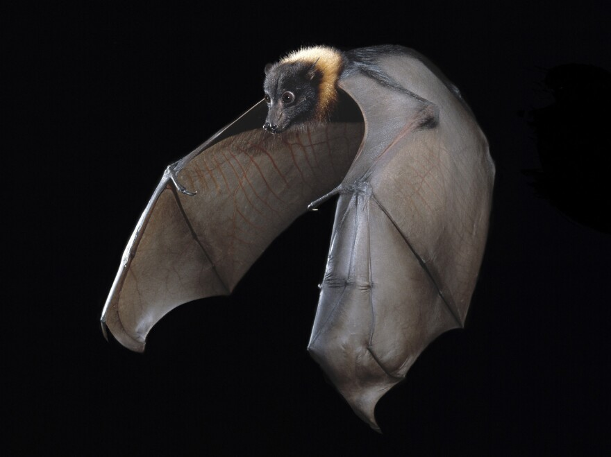 The Indian fruit bat known as the flying fox can harbor diseases that other animals — and humans — can contract.