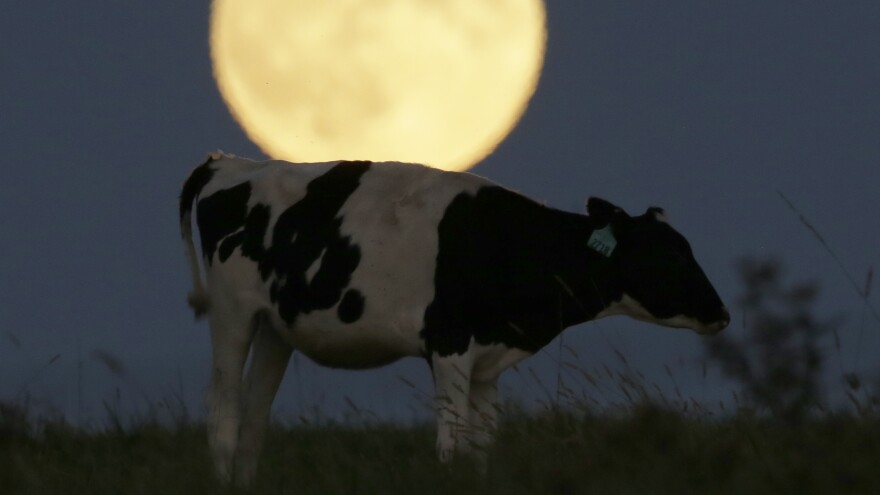 "Putting the ""moo"" into super moon: the full moon rises behind a cow in Kansas last night, before a full lunar eclipse."