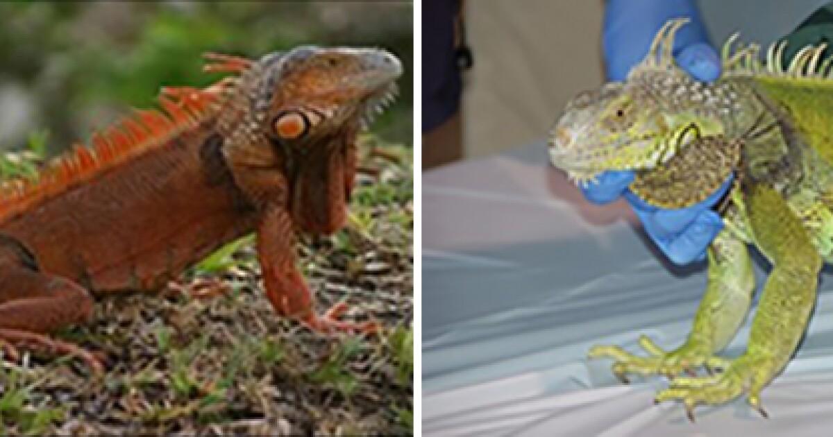 South Florida Has So Many Iguanas That Residents Are Urged To Kill Them Wusf Public Media