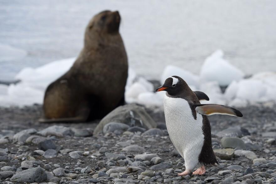 A Gentoo penguin (Pygoscelis Papua) walks across the rocky beach at Yankee Harbour in the South Shetland Islands, Antarctica.