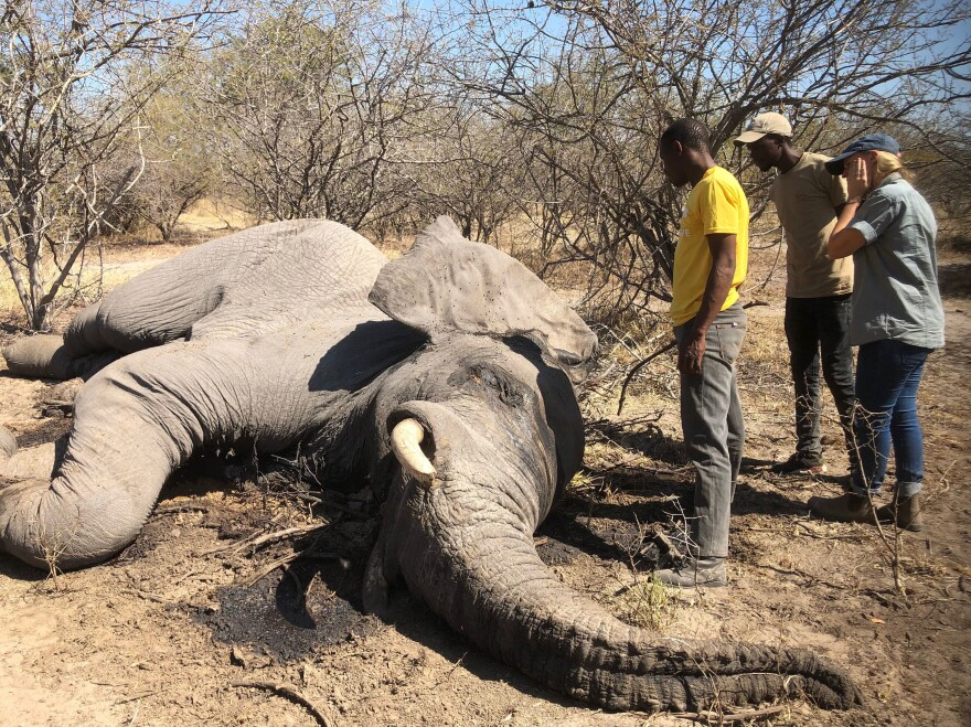 Did this male elephant die from natural causes or was it shot? That's the question as the carcass is examined by Tirelo Malcom Ramatsipele, a wildlife official in Botswana's Chobe District (left), along with Isaiah Mwezi (middle) and Tempe Adams (right), who work for Elephants Without Borders, an organization that works to prevent human-elephant conflict in the area.