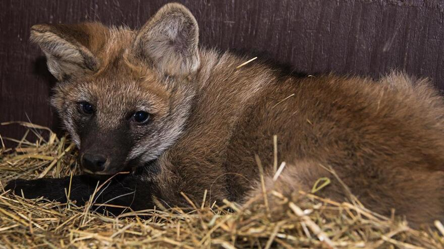 A maned wolf pup born January 5, 2018 at the Smithsonian Conservation Biology Institute in Front Royal, Virginia.