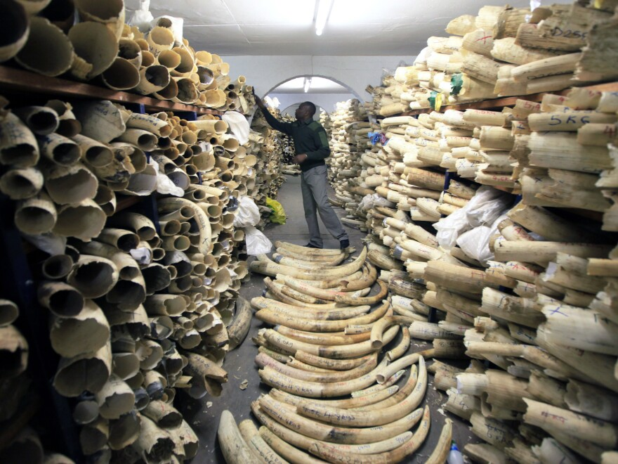 A Zimbabwe National Parks official inspects the country's ivory stockpile at the Zimbabwe National Parks Headquarters in Harare in June. A new survey shows a rapid decline in Africa's savanna elephants, as international and domestic ivory trades continue to drive poaching across the continent.