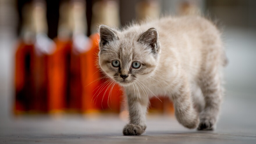 Peat the kitten kept Scotland's Glenturret Distillery free of mice that are attracted to the grain used in production. The 6-month-old kitten was also an ambassador who was featured in public relations photos. But Peat died Monday, apparently after being hit by a car.