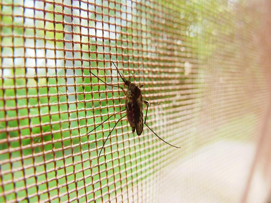 mosquito-1318443083oGd.jpg
