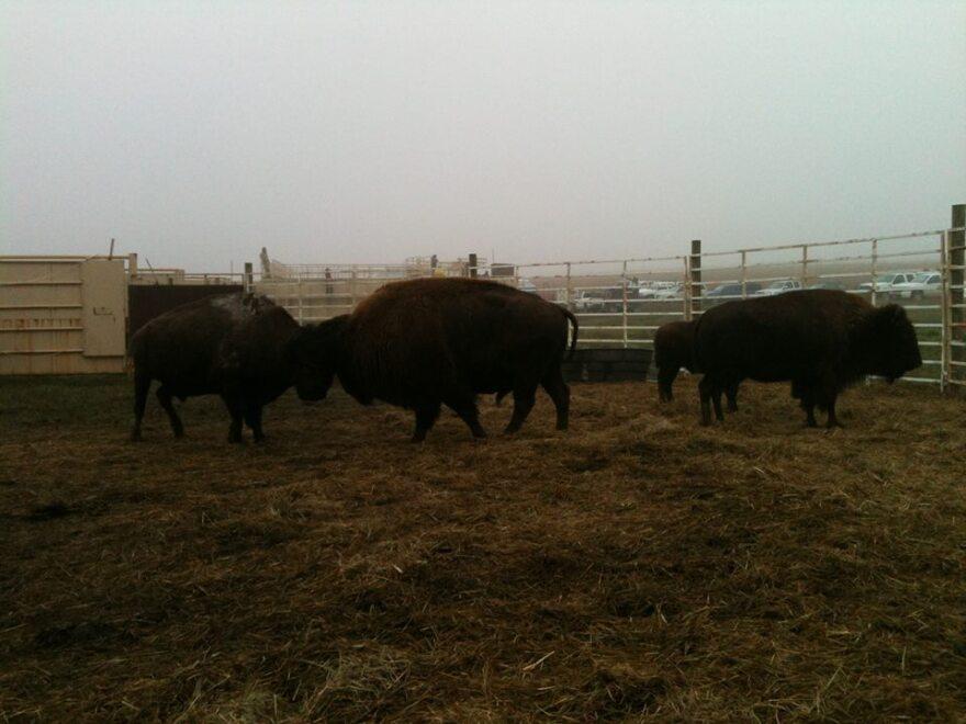 bison_bison_0.jpg