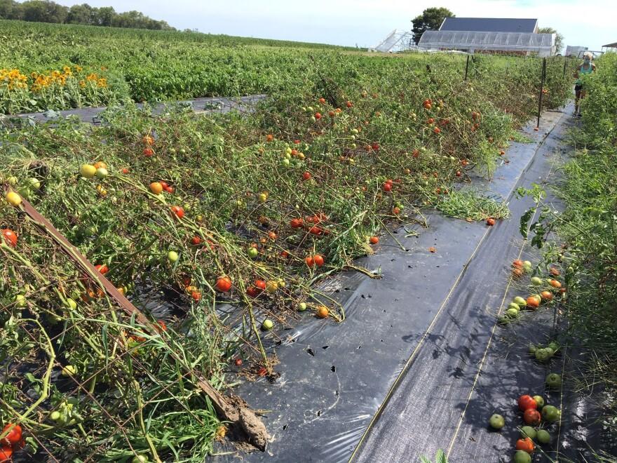 derecho-tomatoes-courtesy-warhover.JPG