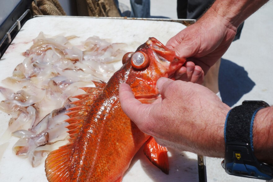 Barotrauma can cause a fish's eyes to pop out of its head and its stomach to be pushed out of its mouth, according to Chris Lowe, a marine scientist at California State, Long Beach.