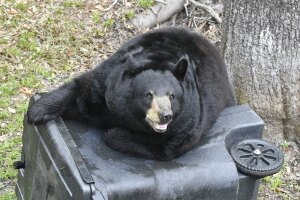 Winter is coming so Florida black bears are fattening up in preparation