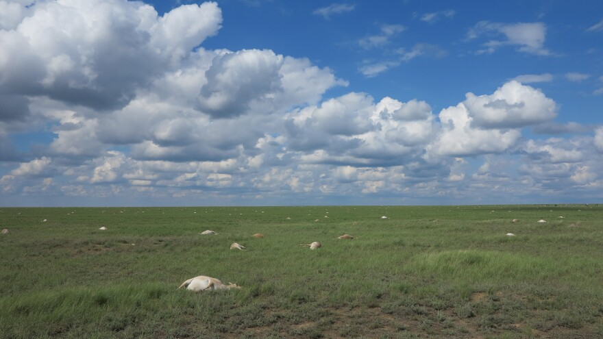 Saigas lie dead in Torgai Betpak Dala in Kazakhstan during the mass mortality event in May 2015.