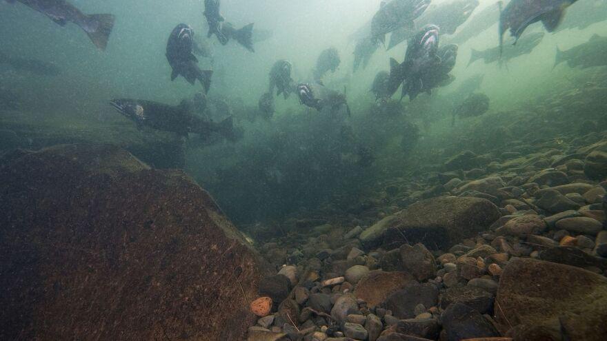 salmon underwater - Rick Swart ODFW.jpg