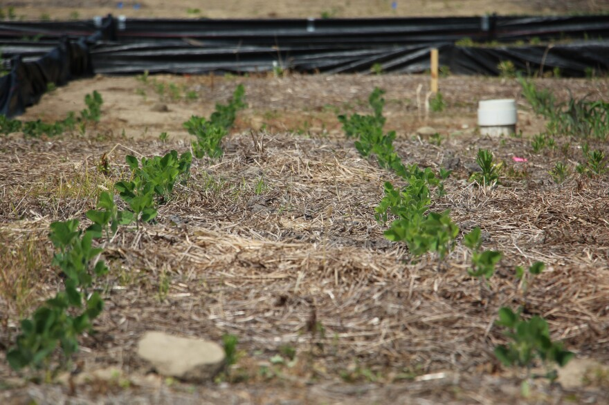 Soybeans growing at Ohio State's Waterman Agricultural and Natural Resources Laboratory. It's part of an experiment aimed at measuring the effects of farming practices on soil quality.