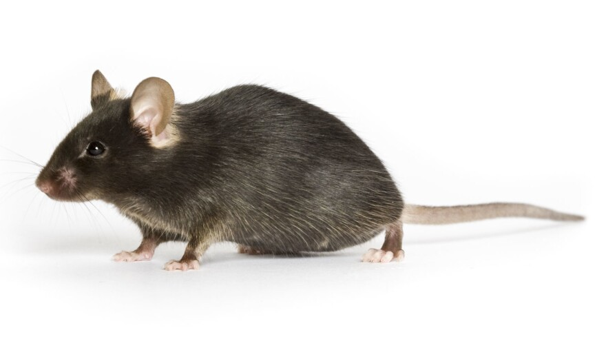Black mouse commonly used by lab researchers