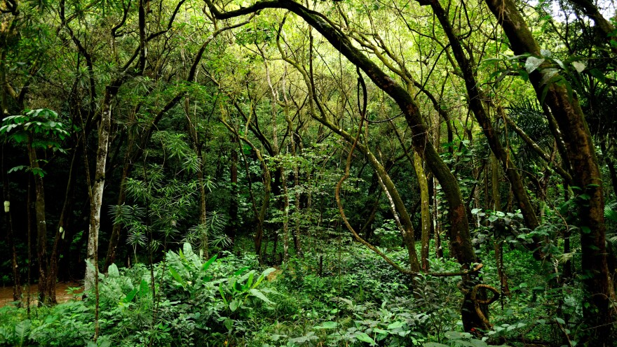 """A vowel sound like """"e"""" can still sound clear through the dense vegetation in Hawaii."""