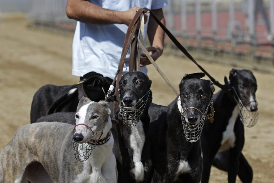 A dog handler escorts greyhounds walking at a track in Macau. Macau authorities took in more than 500 greyhounds abandoned following the closure of Asia's only legal dog-racing track in 2018. (Kin Cheung/AP)
