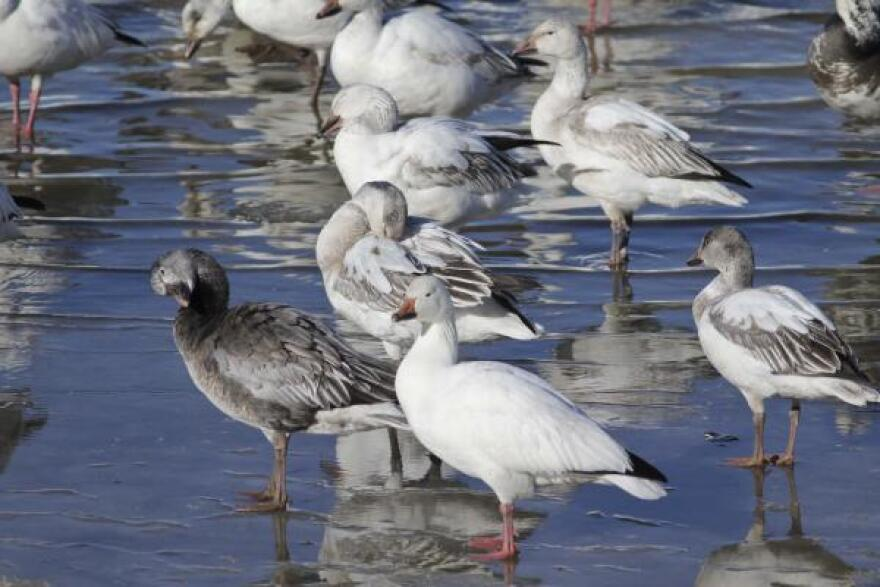 2013-01-25 snow geese MDC.jpg