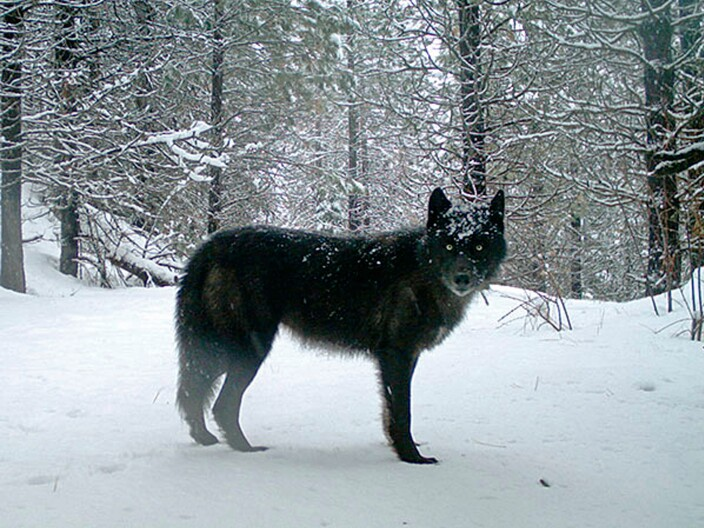 Wyoming Is Confident Its Wolf Management Plan Will Stand Up To Scrutiny