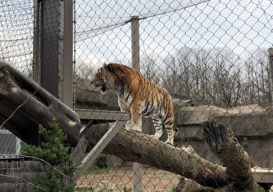 Photo of an Amur tiger