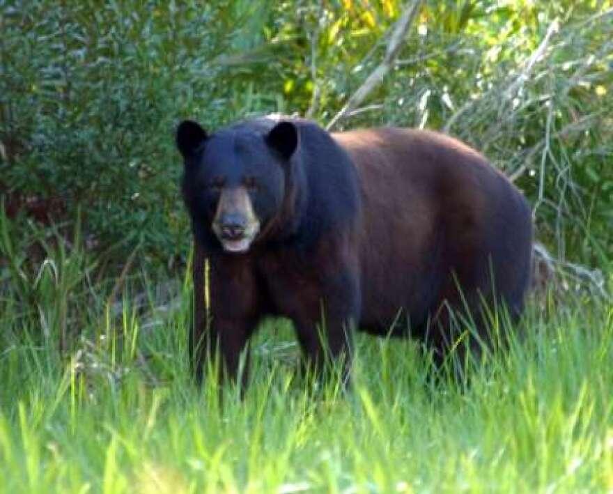 7-15-07_016-Florida-Blck-Bear-448X361.jpg
