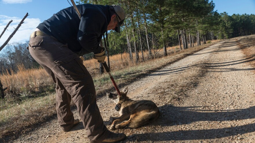 Professional trapper Dan Eaton starts to release a coyote after it was fitted with a GPS collar. University of Georgia biologists will track the animal for two years as part of a study of Southern coyotes.