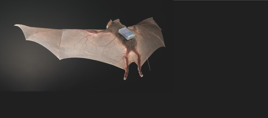 A team of researchers took common vampire bats (<em>Desmodus rotundus</em>) that had been in captivity and from the wild and tagged them with tiny sensors. The bats' social interactions were then tracked for eight days.