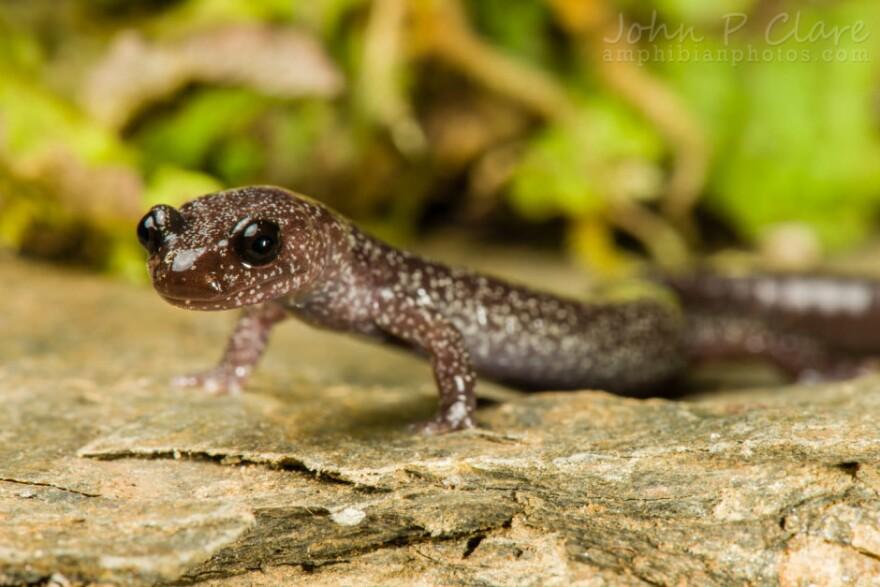 Siskiyou_Mountains_salamander_John_Clare_ntjz5w.jpg