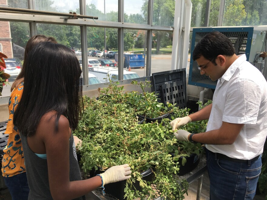 Washington University researcher applying a fertilizer that uses aerosol and nanotechnology to apply growth-promoting chemicals to peanut plants in a greenhouse.