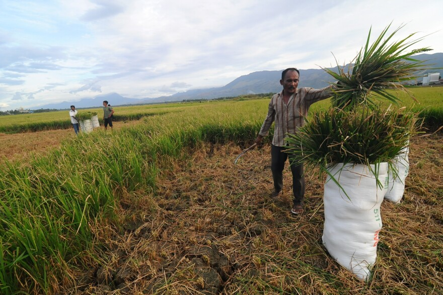 Farmers in Aceh, Indonesia, are facing crop failure because of droughts.
