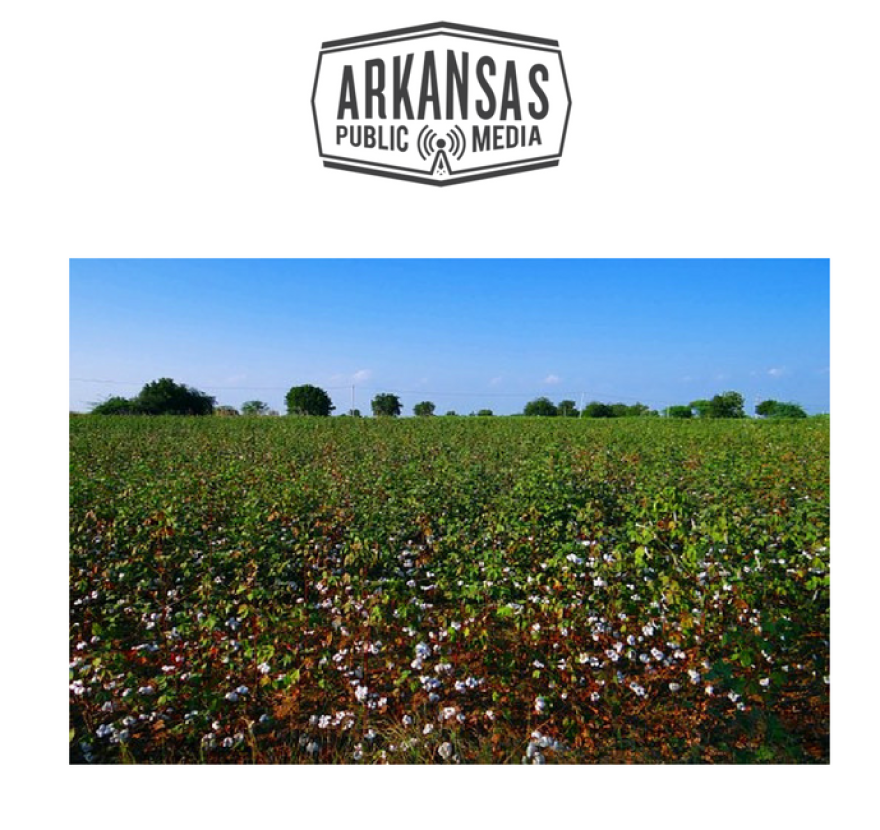 Cotton farmers in Arkansas will receive a 75 cents per acre rebate from a boll weevil eradication program that's seen success in eliminating the pest.