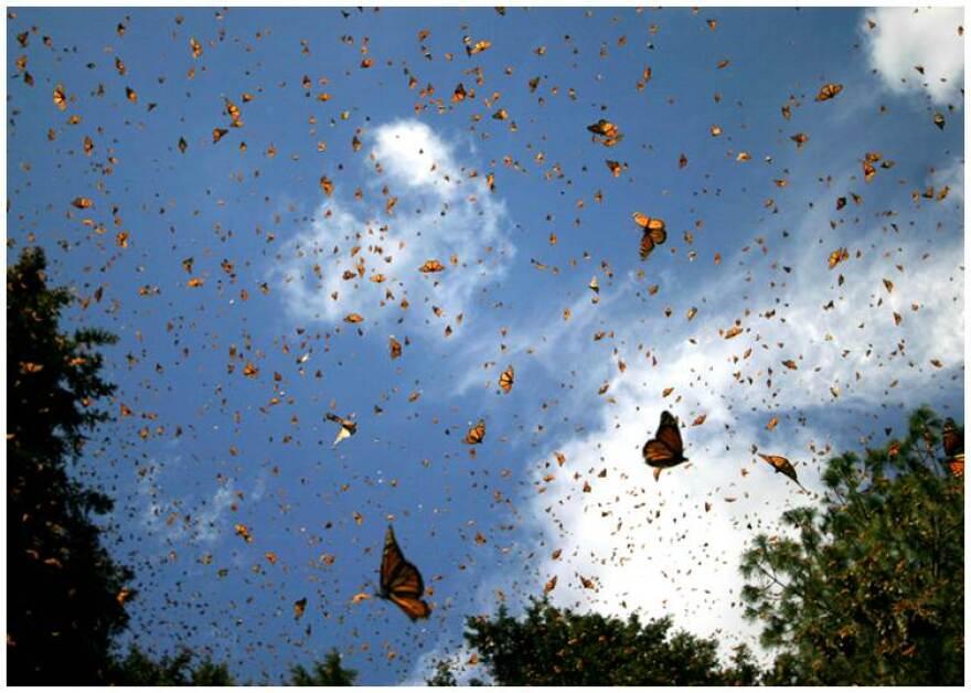 Flying_monarchs.jpg